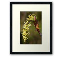 fresh popped big leaf maple bud, and bug Framed Print