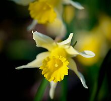 wild daffodils by GD-Images