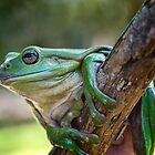 Green Tree Frog by Chris  Randall