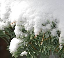Snow Flocked Pine Boughs by Jared Manninen