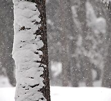 Snow Flocked Jeffrey Pine Tree by Jared Manninen
