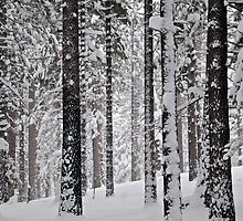 Grove of Snow Flocked Pine Trees by Jared Manninen