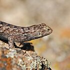 Shedding Western Fence Lizard by Jared Manninen