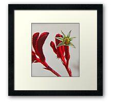 Kangaroo Paw Framed Print