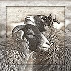 Swaledale Ewes by Furtographic