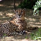 Cheetah by Sherry Durkin