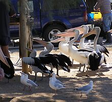 'HURRY UP GUYS WE'RE STARVING!' Pelicans at Venus Bay! by Rita Blom