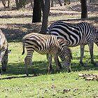 Zebra Grazing, Western Plains Zoo. Dubbo, New South Wales. by Rita Blom