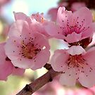 Peach Blossoms by Kgphotographics