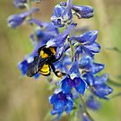 Bumble Bee On Larkspur by Kgphotographics