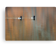 Ring Necked Ducks Canvas Print