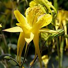 Yellow Aquilegia by looneyatoms