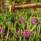 Pink hyacinths in spring by Yanieck