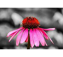 Purple Coneflower - SC Photographic Print