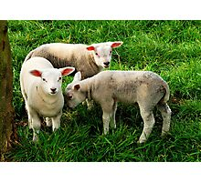 Again the lambs are out Photographic Print