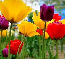 tulips by motiashkar