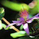 Lavender Starflower - Sun & Shadows by T.J. Martin