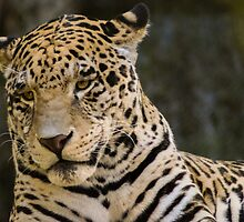 44 Panthera pardus by pcfyi
