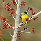 Lesser Goldfinch In Early Spring by Kgphotographics