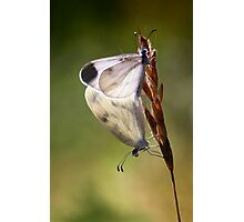 Wood White mating Photographic Print