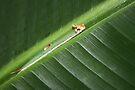 Caligo Caterpillar on Banana Leaf by Jo Nijenhuis
