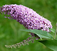 Buddleja davidii by Trish Meyer