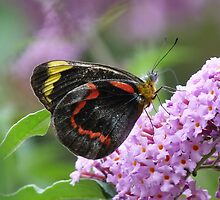 Common (Black) Jezebel, Delias nigrina by Trish Meyer