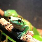 Allenwood, PA: Green Tree Frog by ACImaging