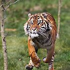 Running Sumatran Tiger by Sheila Smith