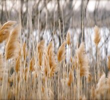 Reeds of Winter by linaji
