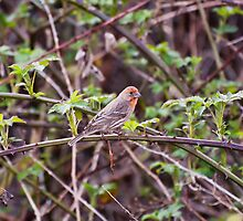 HOUSE FINCH, MALE by Alexphotospdx