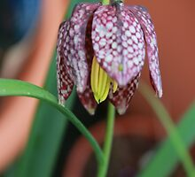 Fritillaria meleagris - Snakes Head Flower by AnnDixon