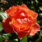 Orange Rose by LoneAngel