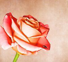 Lady rose by shalisa