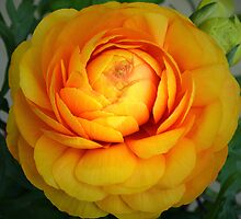 Golden Ranunculus. by Terence Davis