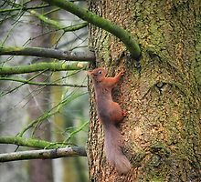 Red Squirrel by Carol Bleasdale