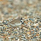 Ringed PLover by Sue Robinson