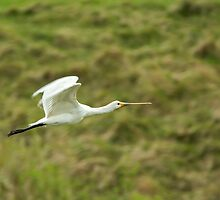 Spoonbill Flying by Sue Robinson