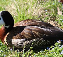White-faced Whistling Duck by Cynthia48