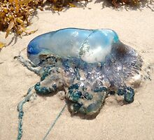 Portuguese Man-o-War by lugnutt