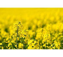 rape yellow sky blue Photographic Print