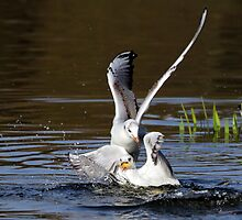 Black headed gulls  by larry flewers