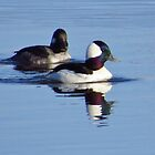 Bufflehead Ducks by lorilee