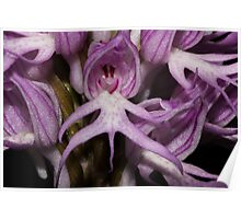 Orchis italica  Poster