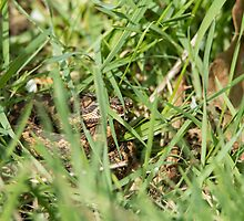 Adder Hiding by Sue Robinson