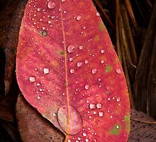 Rain Drops Red Eucalyptus  by Kelly Slater
