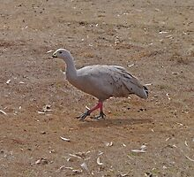 Cape Barren Goose by Margaret  Hyde