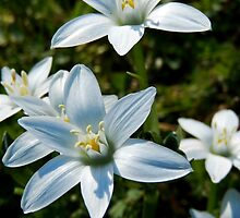STAR OF BETHLEHEM FLOWERS IN THE FIELD by Sandra  Aguirre