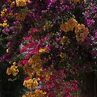 bougainvilleas in the morning light - buganvillas en la luz de la mañana  by Bernhard Matejka