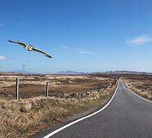 Short-eared Owl, North Uist by Sandy Sutherland